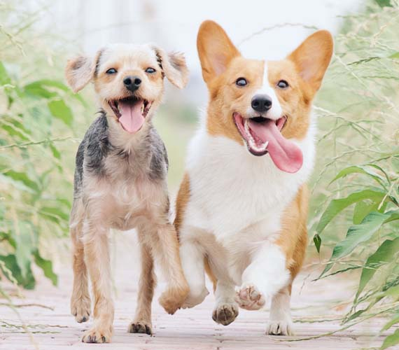 Two dogs happily running
